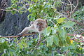 Macaque at Monkey Beach 1.JPG