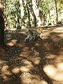 Macaque berbère à Ziama Mansouriah 20 (Algérie).jpg