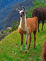 Machu Picchu Llama 1.jpg