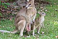 Macropus agilis pouch and joey 1.jpg