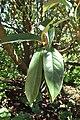 Magnolia doltsopa kz04.jpg