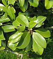 Magnolia grandiflora leaves by Line1.jpg