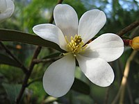 Magnolia laevifolia