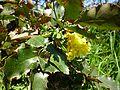 Mahonia aquifolium Morsan.jpg