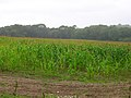 Maize Field in the Rain - geograph.org.uk - 531408.jpg