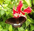 Malabar Raven(Papilio dravidarum ) on flower.jpg