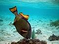 Maldives titan triggerfish, Balistoides viridescens.jpg