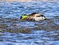 Mallard on Seedskadee National Wildlife Refuge (41142699532).jpg