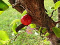 Malpighia glabra acerola flower fruit.jpg