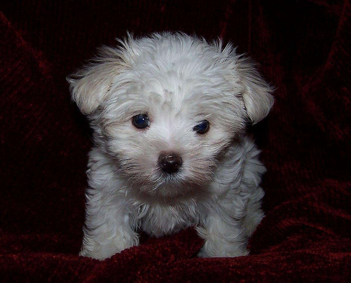 Maltese (anjing) - Wikipedia bahasa Indonesia ...