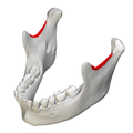 Mandibular notch - close-up - superior view.png