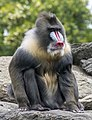 Mandrill Albert September 2015 Zoo Berlin (2).jpg