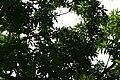 Mangifera indica 33zz.jpg