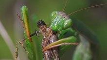 Datei:Mantis religiosa - 720x576.ogv