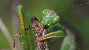 File:Mantis religiosa - 720x576.ogv