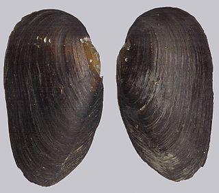 Freshwater pearl mussel Species of mollusc