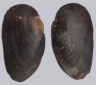 Margaritiferidae - Separated valves of a shell of Margaritifera margaritifera