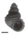 Margarya monodi shell.png