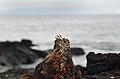 Marine iguana (4229109228).jpg