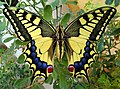 Mariposa Papilio Machaon.jpg