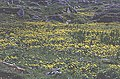 Marsh Marigold (Caltha Palustris) - geograph.org.uk - 200798.jpg