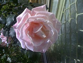 Mary MacKillop - The Mary MacKillop rose