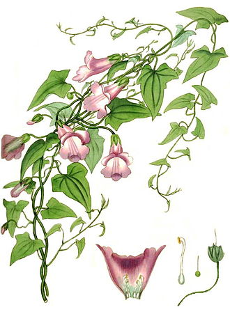 Maurandya - Maurandya scandens from The Botanist's Repository, 1797