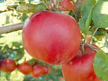 Close-up of a red apple hanging from a branch of a tree; other hanging apples are visible in the background.