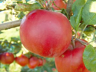 "Allantide - Large red apples similar to the ""Allan"" apples popular in West Cornwall during Allantide"