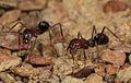 Meat Ant (Iridomyrmex purpureus) (32733937383).jpg