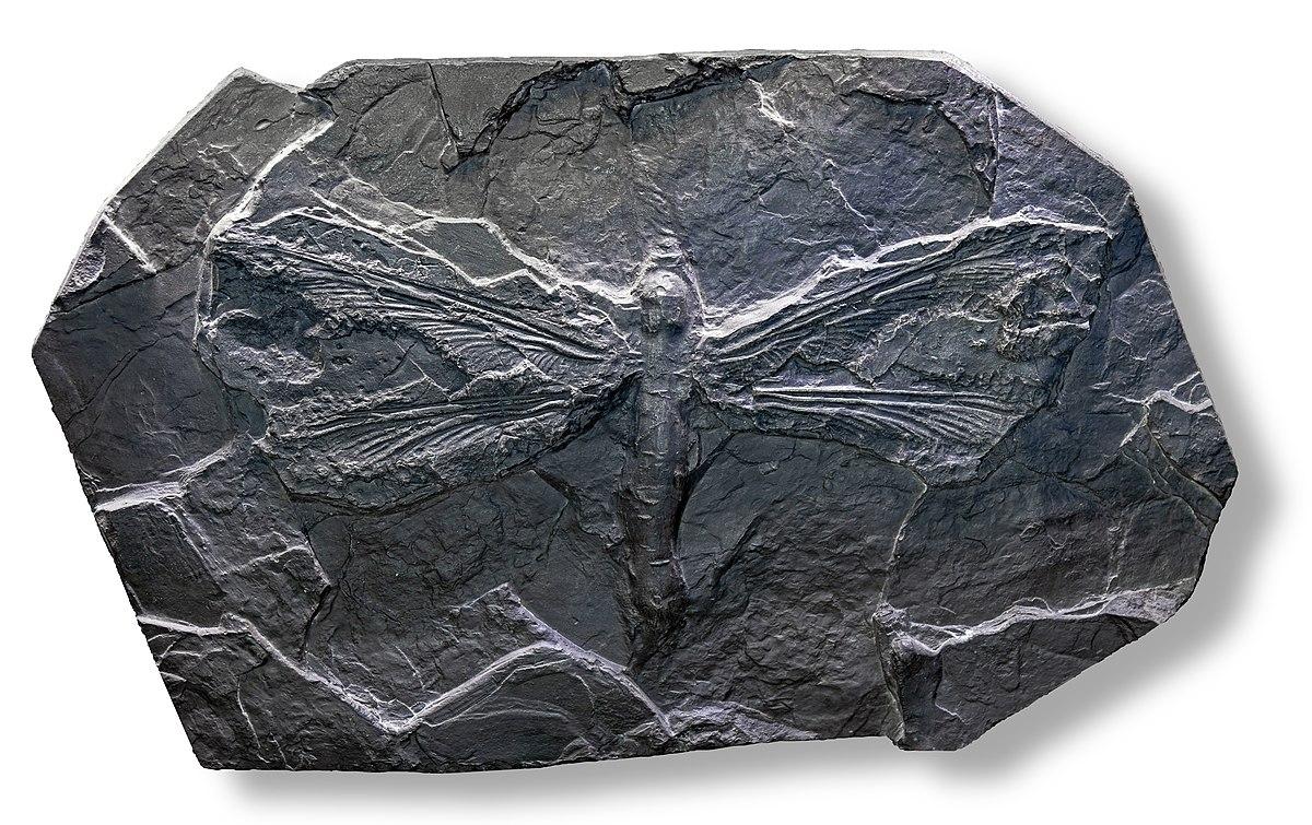 Meganeura monyi au Museum de Toulouse.jpg