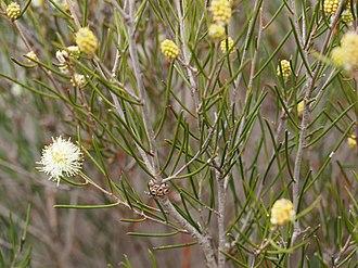Melaleuca uncinata - M. uncinata leaves and fruit