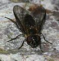 Melangyna quadrimaculata (female) - Flickr - S. Rae (2).jpg