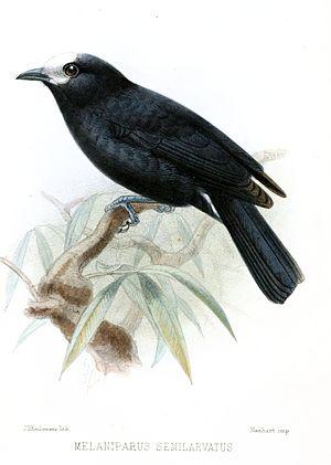 White-fronted tit - Image: Melaniparus Semilarvatus Keulemans