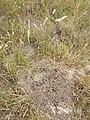 Melica transsilvanica (subsp. transsilvanica) sl29.jpg