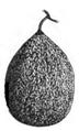Melon muscade des États-Unis Vilmorin-Andrieux 1883.png