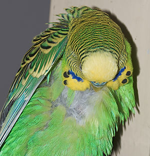 Down feather - Body down feathers, like these exposed on this adult male budgerigar's back, lie underneath the contour feathers and help to insulate birds against heat loss.