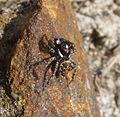 Menemerus semilimbatus. - Flickr - gailhampshire (13).jpg
