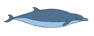 Sowerby's beaked whale - Profile of an adult female