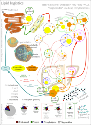 Cholesterol - Lipid logistics: transport of triglycerides and cholesterol in organisms in form of lipoproteins as chylomicrons, VLDL, LDL, IDL, HDL.