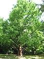 Metasequoia glyptostroboides 01 by Line1.JPG