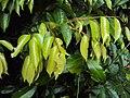 Meteoromyrtus wynaadensis 31.JPG