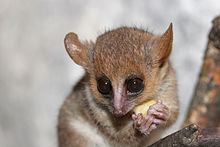 A wide-eyed mouse lemur gnaws at a snack it holds in its hands.