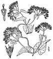 Mikania scandens (L.) Willd Climbing hempvine.tiff