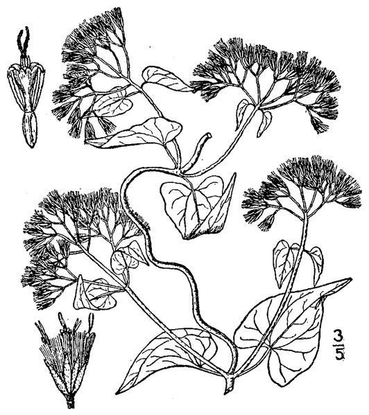 File:Mikania scandens (L.) Willd Climbing hempvine.tiff