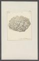 Millepora agariciformis - - Print - Iconographia Zoologica - Special Collections University of Amsterdam - UBAINV0274 111 07 0017.tif