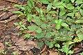 Mimosa pudica-തൊട്ടാവാടി.jpg
