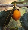Mimusops elengi fruit 01.JPG