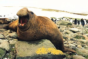 Southern elephant seal - Male (bull) with macaroni penguins in the background, northern shore of Kerguelen Islands