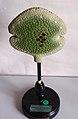 Modell von Marchantia polymorpha, Brutknospe -Brendel Nr. 148-.jpg